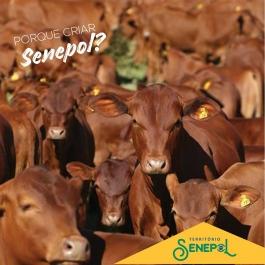 Porque criar Senepol?